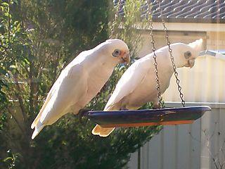 Corella pair