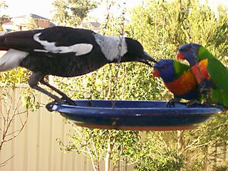 Magpie and Lorikeey Tussell 2