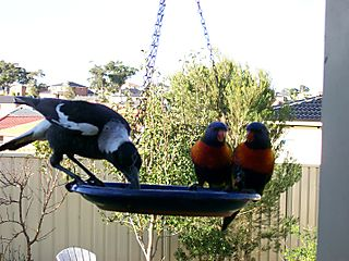 Magpie and Lorikeet truce