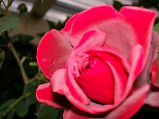 03.05.08 Rose 1