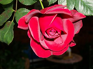 03.05.08 Rose 2
