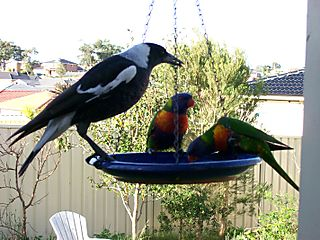 Magpie and Lorikeet tussel