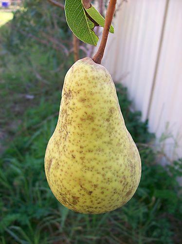 12.07.08 pear