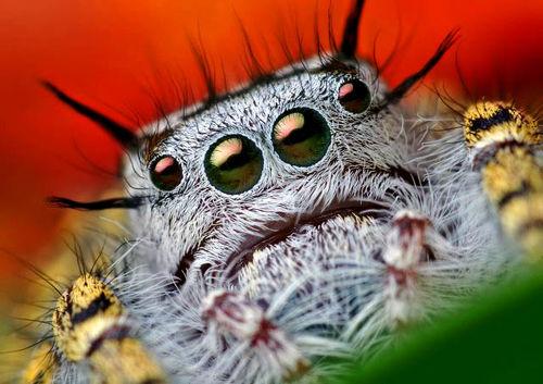 Spider_bluebeard