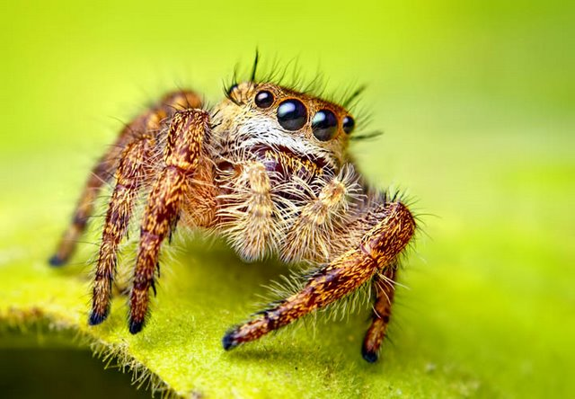 Spider_jumping