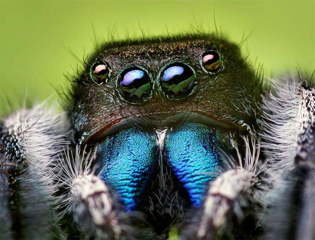 Spider_bluefang