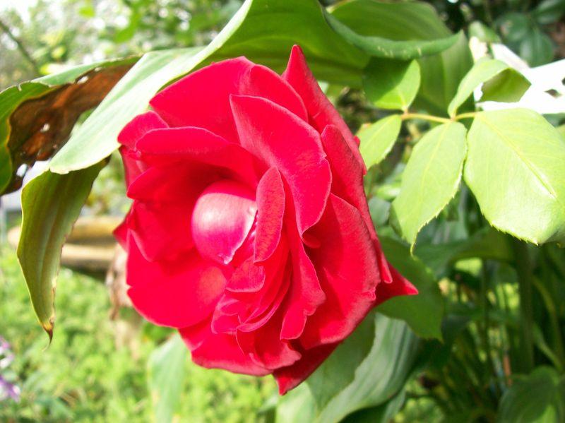 09 04 05 Rose
