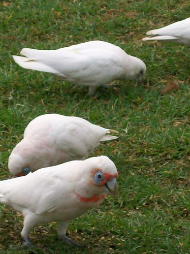 09 03 11 Long Billed and Little Corellas
